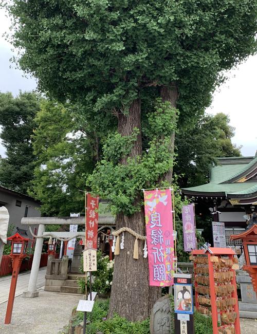 川越八幡宮 縁むすびの木