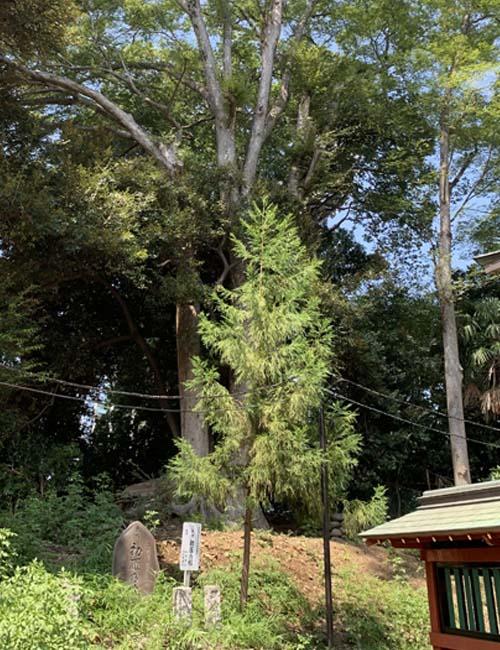 三芳野神社 初雁の杉