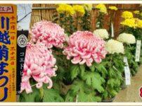 小江戸川越 菊祭り