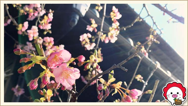 うなっ子の河津桜