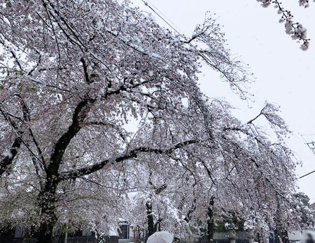 蓮馨寺の雪と桜