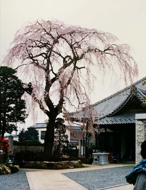 栄林寺のしだれ桜