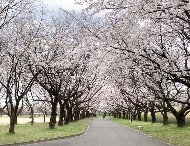 水上公園の桜
