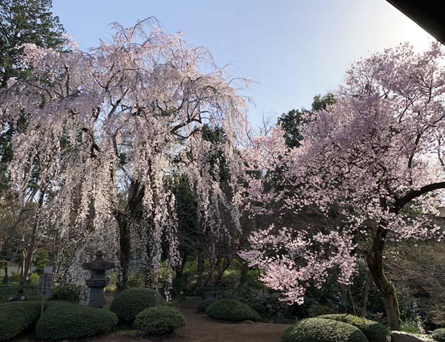 喜多院の枝垂桜