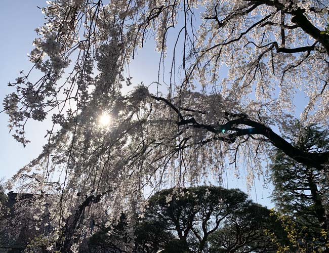 中院の枝垂桜