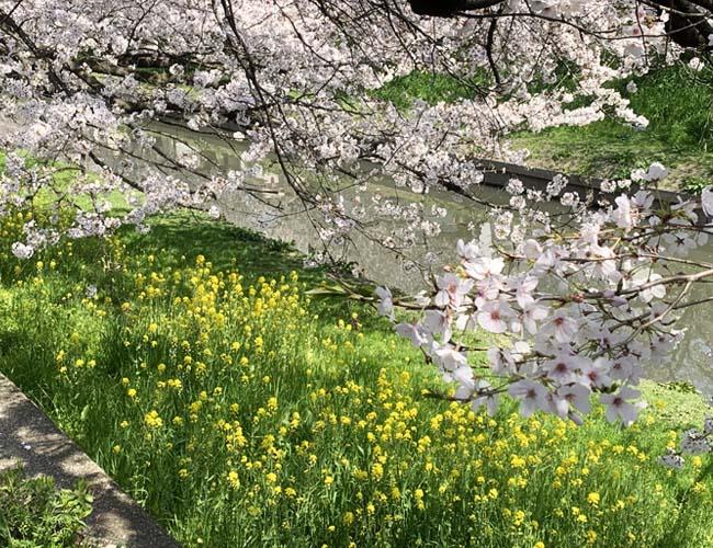 精進場橋周辺の桜並木