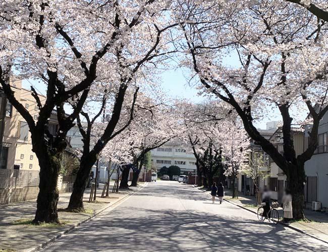 川越女子高の桜