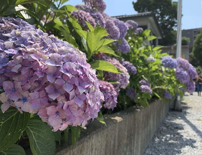 川越八幡宮の紫陽花