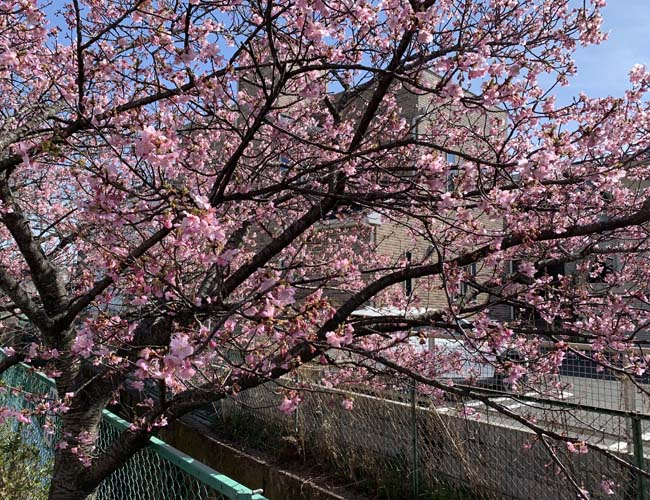 川越角屋酒店の河津桜