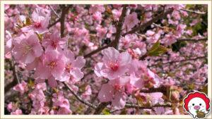 川越の早咲きの桜