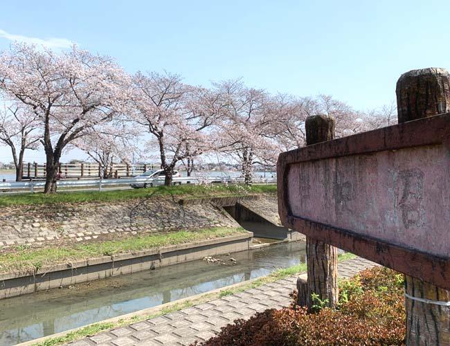 伊佐沼周辺の桜