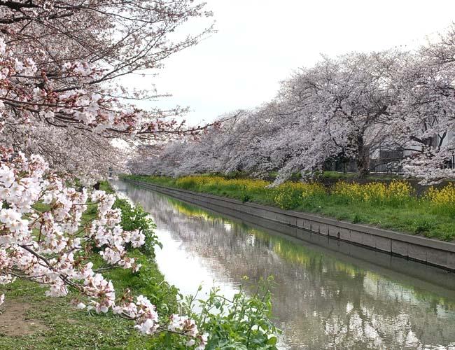 精進場橋~弁天橋の桜