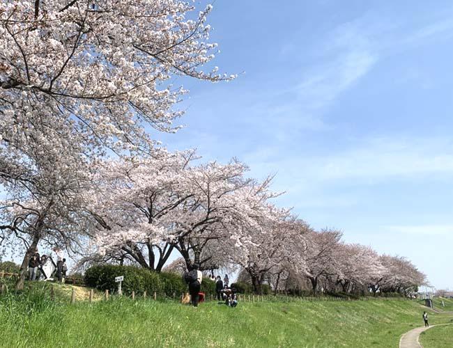 小畔水鳥の郷公園・御伊勢塚公園の桜