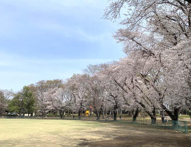 笠幡公園の桜