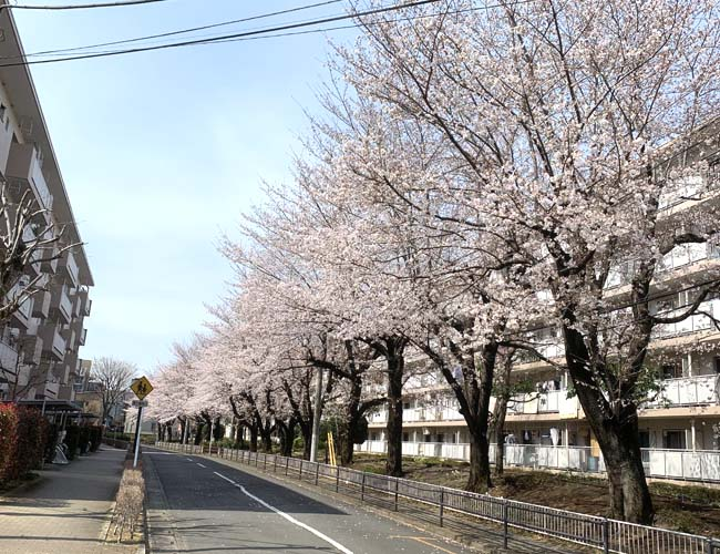 笠幡団地の桜並木