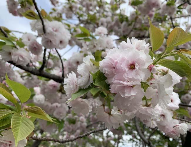 川越水上公園の八重桜
