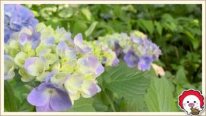 仙波東照宮と喜多院の紫陽花