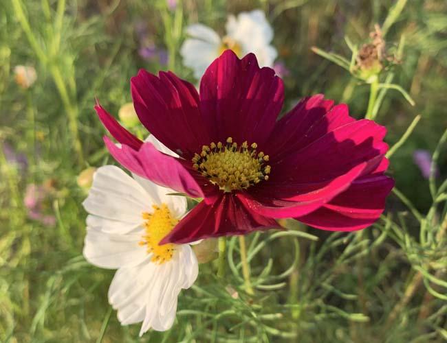 伊佐沼東岸花畑のコスモスの花
